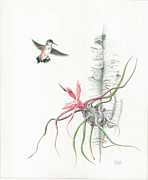 Epiphyte Metal Prints - Tillandsia bulbosa with Hummingbird Metal Print by Penrith Goff