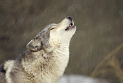 Wolf Posters - Timber Wolf Canis Lupus Howling Poster by Gerry Ellis