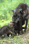 Timber Wolf Canis Lupus Mother Print by Konrad Wothe