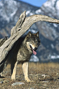 Canidae Photos - Timber Wolf Canis Lupus Portrait by Konrad Wothe