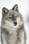 Canidae Photos - Timber Wolf Canis Lupus Portrait by Tim Fitzharris
