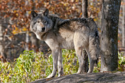 Black. Timber Wolf Photography Prints - Timber Wolf In Autumn Print by Michael Cummings