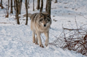 Black. Timber Wolf Photography Prints - Timber Wolf In Snow Print by Michael Cummings