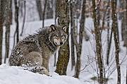 Timber Wolf In Winter Print by Michael Cummings