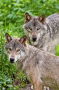 Black. Timber Wolf Photography Prints - Timber Wolf Pair Print by Michael Cummings
