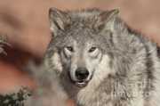 Western United States Photo Framed Prints - Timber Wolf Portrait Framed Print by Sandra Bronstein