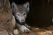 Black. Timber Wolf Photography Prints - Timber Wolf Pup In Den Print by Michael Cummings