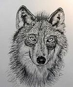 Timber Drawings Posters - Timber Wolf Poster by Stan Hamilton