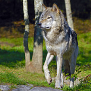 Timber Wolf Photos - Timber Wolf  by Tony Beck
