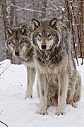 Timber Wolves In Winter Print by Michael Cummings