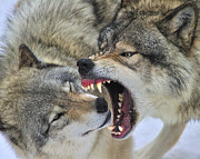 Timber Wolf Prints - Timber Wolves Play Print by Tony Beck