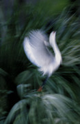 Snowy Egret Photos - Time N Motion by Skip Willits