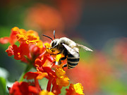 Bees Photos - Time to dinner by David Cucalon