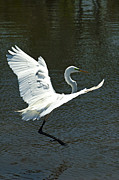 Great Egret Framed Prints - Time To Land Framed Print by Carolyn Marshall