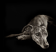 Whippet Prints - Tina 1 Print by Danilo Piccioni