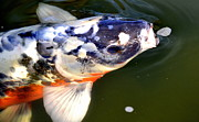 Japanese Koi Prints - Tiny Bubbles Print by Fraida Gutovich