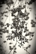 Cherry Blossoms Photo Metal Prints - Tiny Buds And Blooms Metal Print by Angie McKenzie