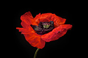 Black Photo Prints - Tiny Dancer Poppy Print by Toni Chanelle Paisley
