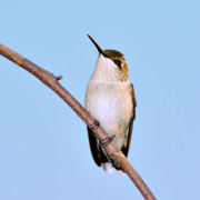 Ruby-throated Hummingbird Photos - Tiny Feet by Betty LaRue