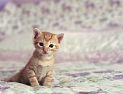 Ginger Cat Prints - Tiny Kitten Sat On Bed Print by By Julie Mcinnes
