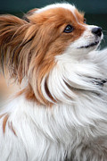Tiny Dogs Photos - Tiny Papillon Puppy Dog by Ethiriel  Photography
