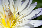 Nature Center Pond Prints - Tiny Pollinator  Print by Priya Ghose