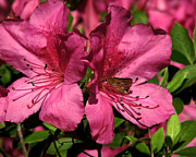 Azalea Bush Photo Prints - Tiny Visitor Print by Peg Urban