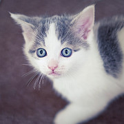 Kitten Photo Posters - Tiny White And Grey Kitten Looking Up Poster by Cindy Prins