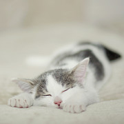 One Animal Prints - Tiny White And Grey Kitten Sleeping On The Couch Print by Cindy Prins