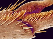 Claw Photos - Tip Of Ant Foot, Sem by Susumu Nishinaga