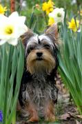 Yorkie Prints - Tiptoe through the daffodils Print by David Bearden