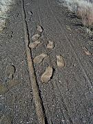 Prescott Photo Framed Prints - Tire Tracks and Foot Prints Framed Print by Heather Kirk