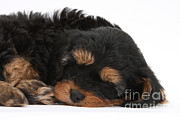 Sleeping Dog Prints - Tired Cavapoo Pup Print by Mark Taylor