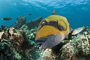 Featured Acrylic Prints - Titan Triggerfish Baa Atoll Indian Acrylic Print by Reinhard Dirscherl