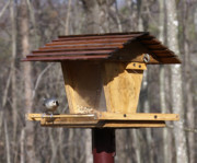 Arkansas Metal Prints - Titmouse Feeding Metal Print by Douglas Barnett