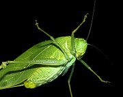 To An Insect Pretty Katydid Print by Tracie Kaska