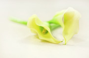 Calla Lily Prints - To Have And To Hold... Print by Evelina Kremsdorf