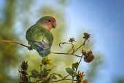 Lovebird Metal Prints - To Love a Lovebird Metal Print by Saija  Lehtonen