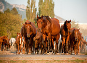Thoroughbred Horse Art - To The Pasture by Photographs by Maria itina
