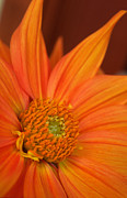 Dahlia Photos - To the Point by Kathy Yates