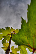 Grapevines Photos - To The Sky by Emily Stauring