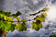 Grapevines Photos - To The Sun by Emily Stauring