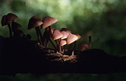 Toadstools Photo Framed Prints - Toadstools Framed Print by David Aubrey