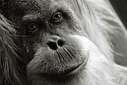 Orangutans Framed Prints - Toba Framed Print by Lana Trussell