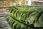 Greater Antilles Prints - Tobacco Farming Print by Photostock-israel