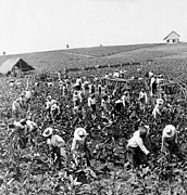 Slave Labor Posters - Tobacco Field in Montpelier - Jamaica - c 1900 Poster by International  Images