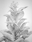 Farming Drawings - Tobacco  by Meagan  Visser