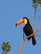 Toucan Metal Prints - Toco Toucan Metal Print by Bruce J Robinson