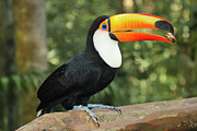 The Bird Photo Prints - Toco Toucan Print by Ruy Barbosa Pinto