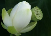 Lotus Seed Pod Prints - Today and Yesterday Print by Sabrina L Ryan